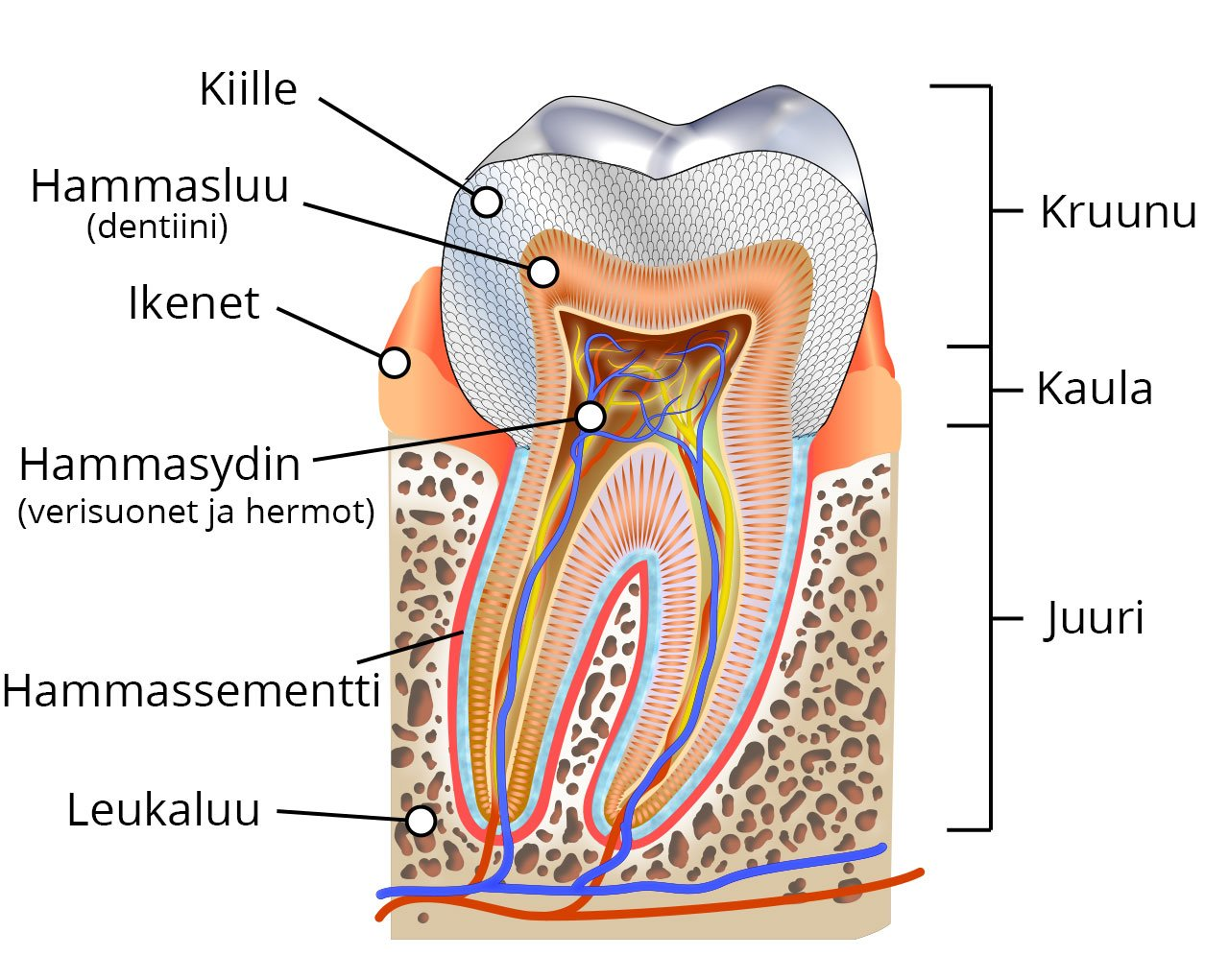 Ihmisen hampaan rakenne